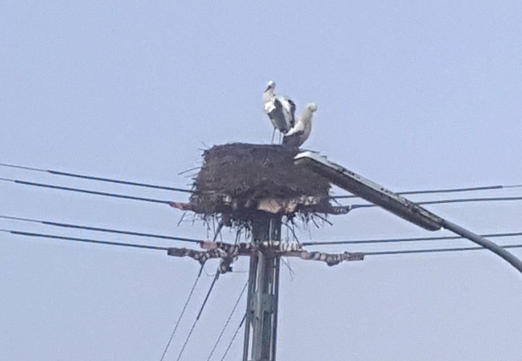 Zefix, es ist Februar! Störche in ihrem Nest bei Ravensburg