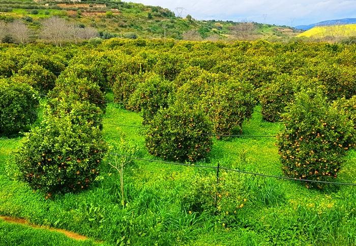 Obstbaum, Obstblüte, Orange, Zitrone, erbeere, Löwenzahn, Wildspargel, Spinat, Sizilien, Frühling