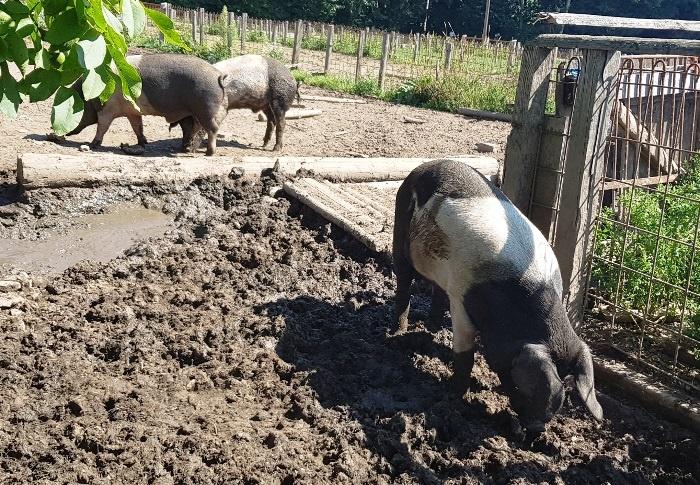 Wald-Wollschwein (lecker)